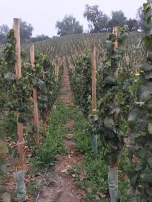 Even more grapes